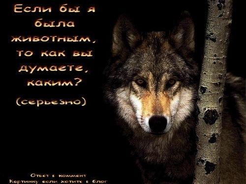 Волки картинки с надписями про любовь 019