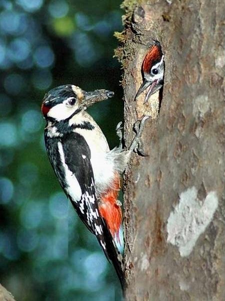 Картинка для детей дятел на дереве 005