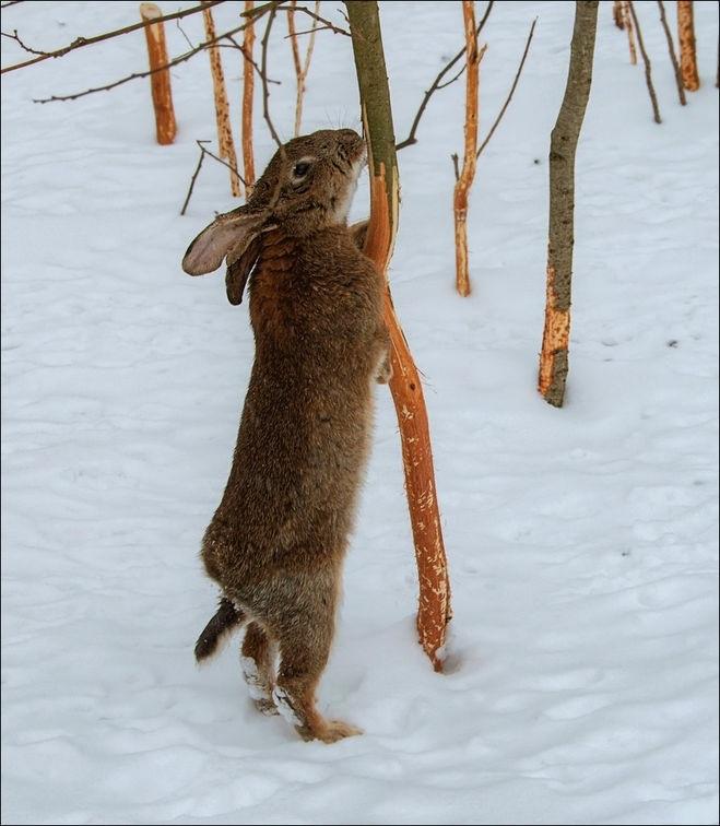 Картинки что зимой едят зайцы в лесу 005