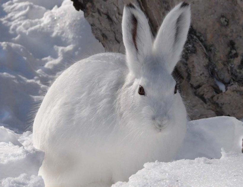 Картинки что зимой едят зайцы в лесу 008