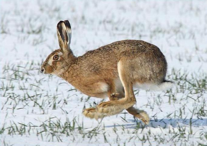 Картинки что зимой едят зайцы в лесу 011