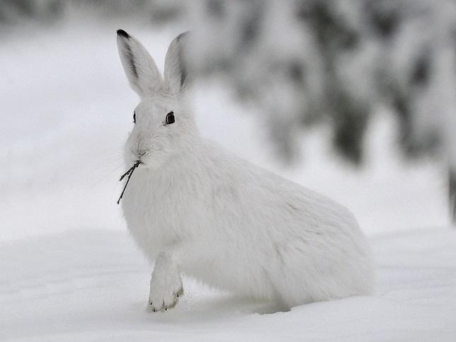 Картинки что зимой едят зайцы в лесу 013