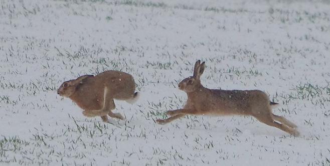 Картинки что зимой едят зайцы в лесу 016
