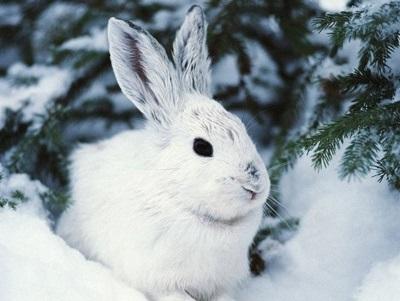 Картинки что зимой едят зайцы в лесу 019
