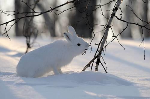 Картинки что зимой едят зайцы в лесу 021