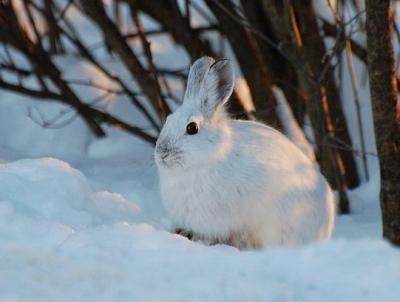 Картинки что зимой едят зайцы в лесу 024