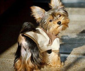 Порода собаки с хвостиком на голове   фото 008