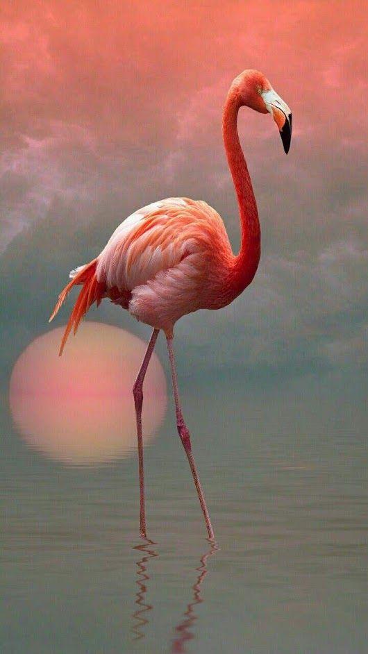 Фламинго обои на айфон красивые и классные (23)