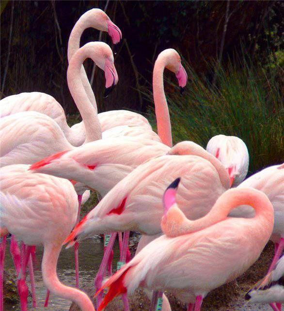 Фламинго обои на айфон красивые и классные (28)