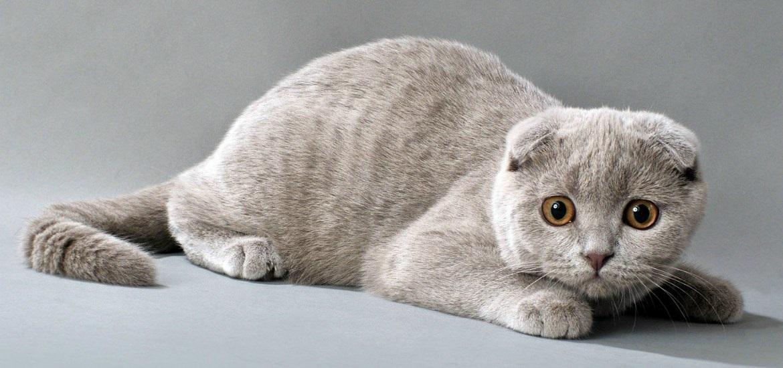 Фото шотландских вислоухих кошек 003