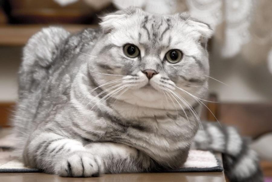 Фото шотландских вислоухих кошек 004