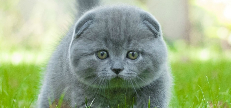 Фото шотландских вислоухих кошек 005