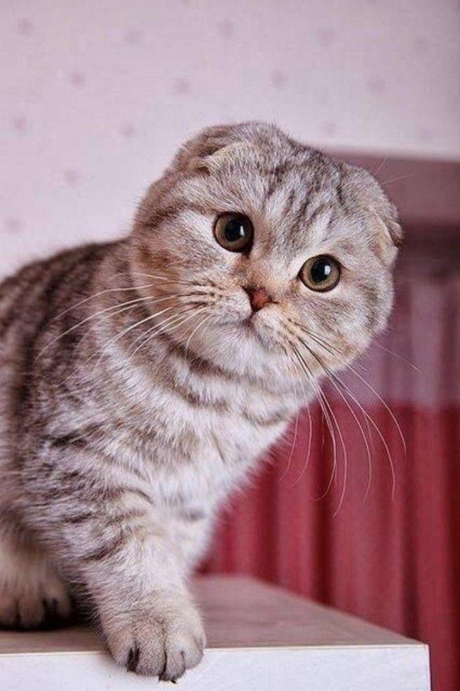 Фото шотландских вислоухих кошек 006