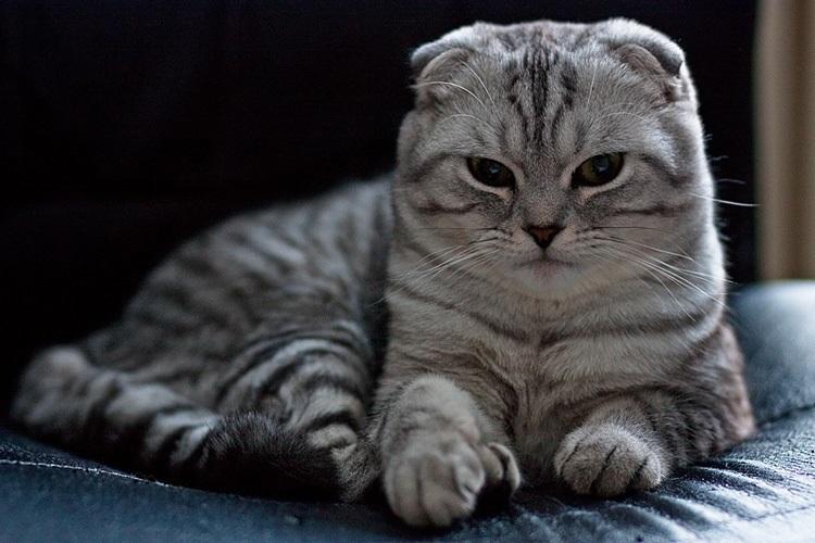 Фото шотландских вислоухих кошек 007