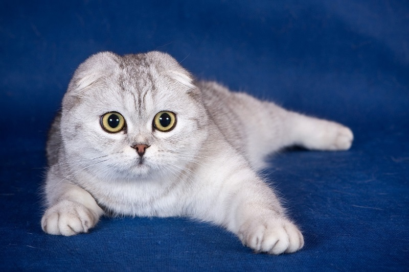 Фото шотландских вислоухих кошек 008