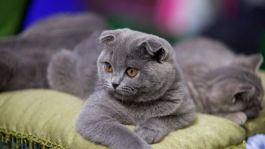 Фото шотландских вислоухих кошек 009