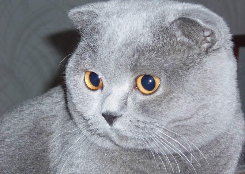Фото шотландских вислоухих кошек 010