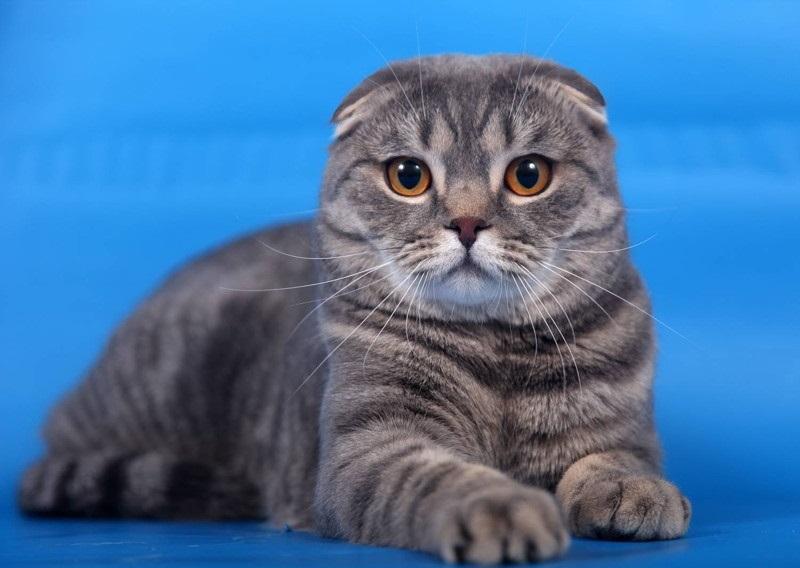 Фото шотландских вислоухих кошек 011
