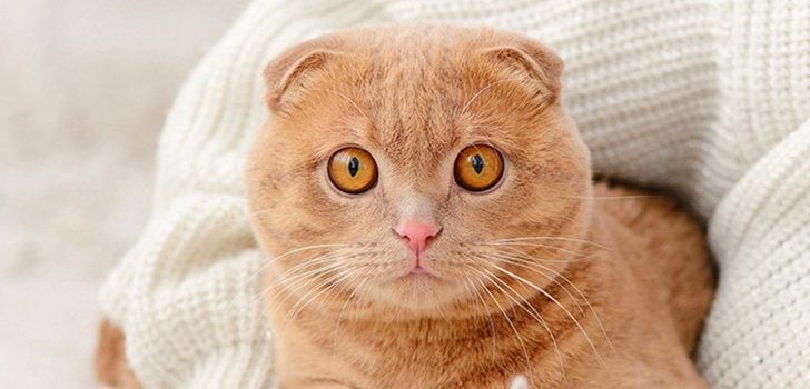 Фото шотландских вислоухих кошек 012