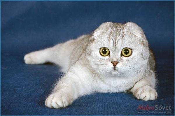 Фото шотландских вислоухих кошек 016