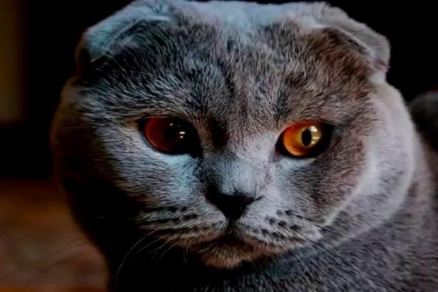 Фото шотландских вислоухих кошек 017