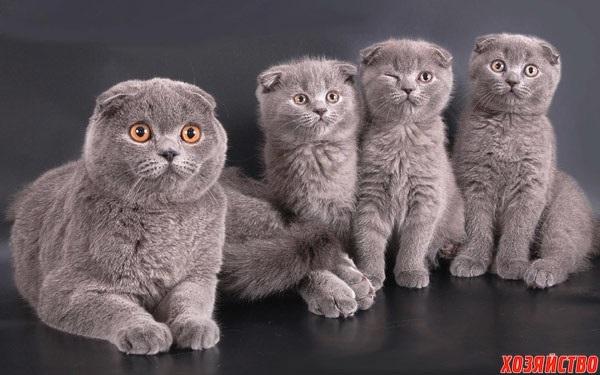 Фото шотландских вислоухих кошек 018