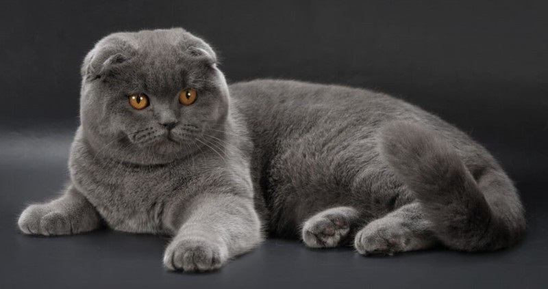 Фото шотландских вислоухих кошек 019