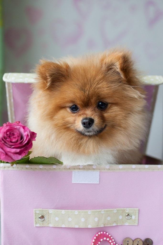 Открытка с днем рождения с собакой шпиц, картинки открытка