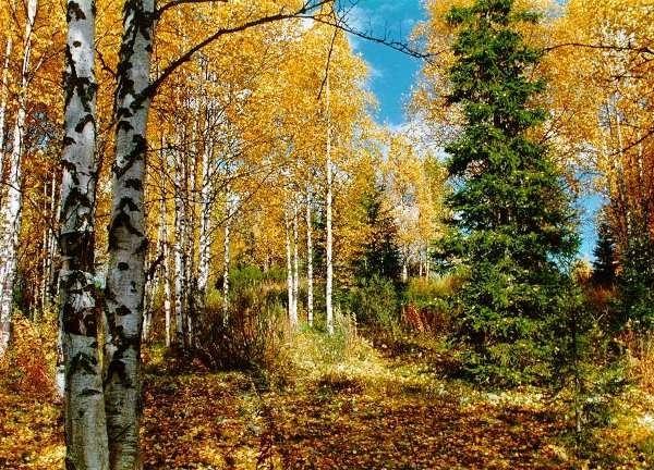 лесные деревья осенью картинки для детей 005
