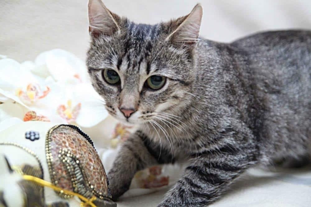 европейская короткошерстная кошка фото сожалению, использование