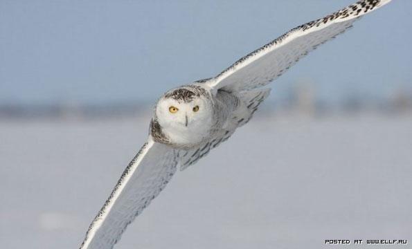 Картинки полярной совы в тундре 001