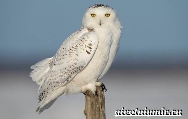 Картинки полярной совы в тундре 002