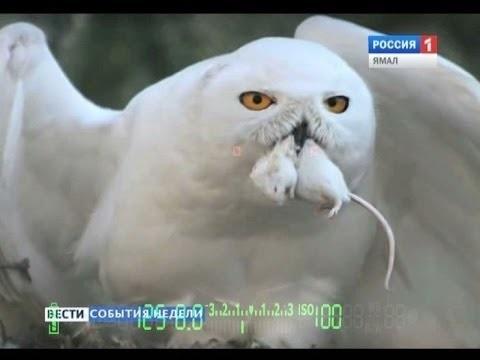 Картинки полярной совы в тундре 003