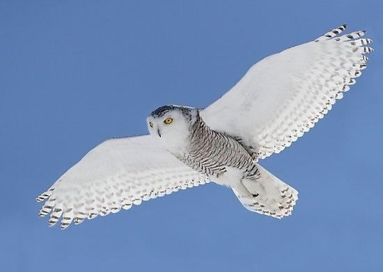 Картинки полярной совы в тундре 004