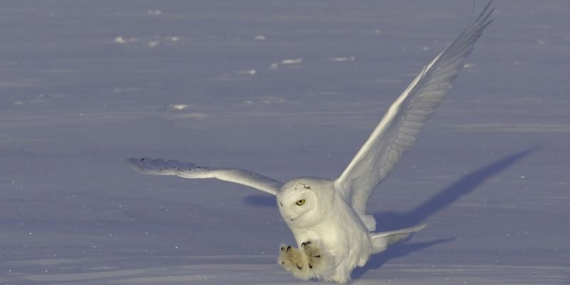 Картинки полярной совы в тундре 005