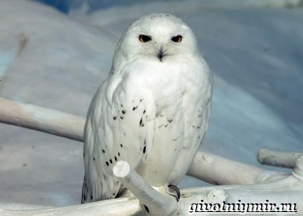 Картинки полярной совы в тундре 006