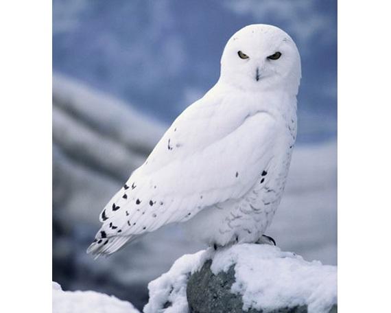 Картинки полярной совы в тундре 007