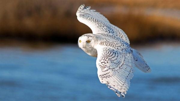 Картинки полярной совы в тундре 008