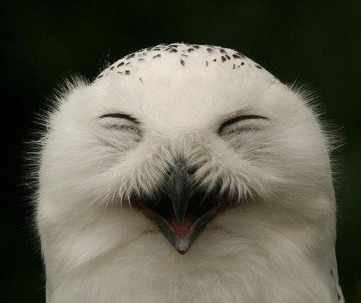 Картинки полярной совы в тундре 009