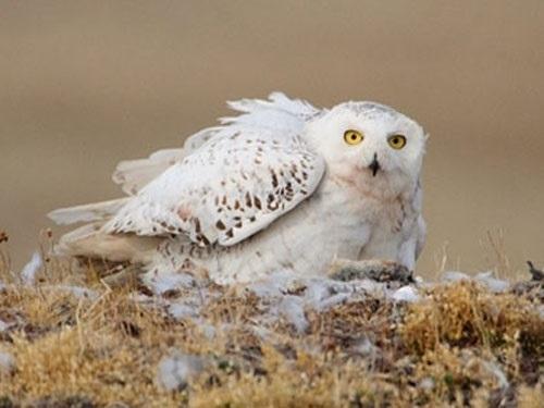 Картинки полярной совы в тундре 010