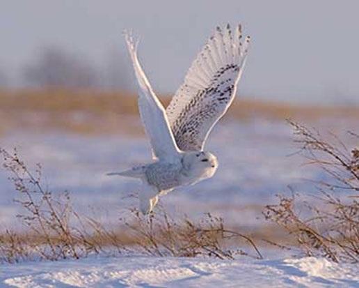 Картинки полярной совы в тундре 011