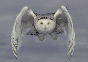 Картинки полярной совы в тундре 012