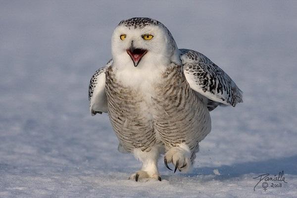 Картинки полярной совы в тундре 013