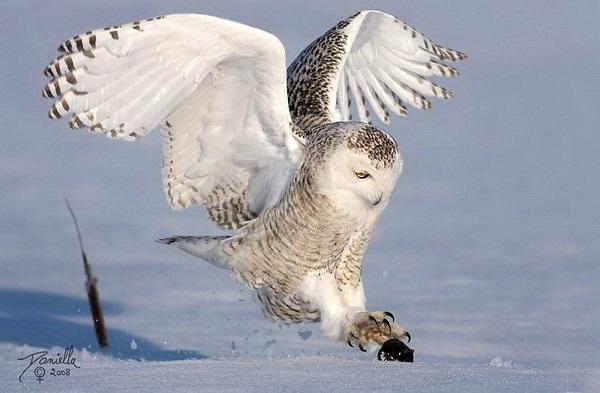 Картинки полярной совы в тундре 014