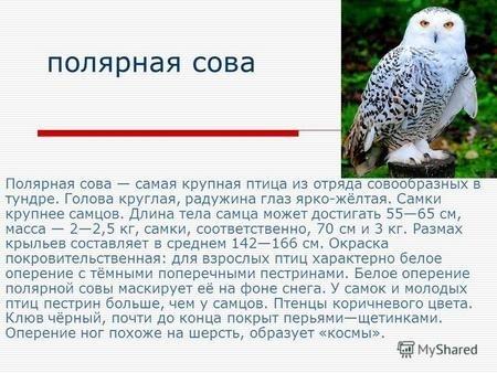 Картинки полярной совы в тундре 015