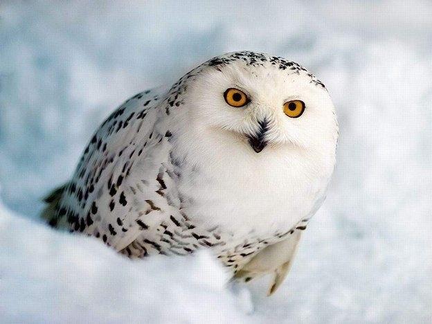 Картинки полярной совы в тундре 016