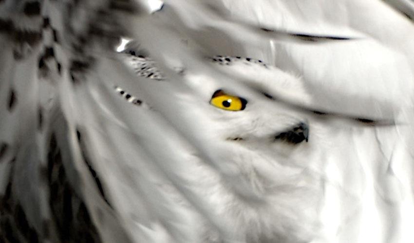 Картинки полярной совы в тундре 017