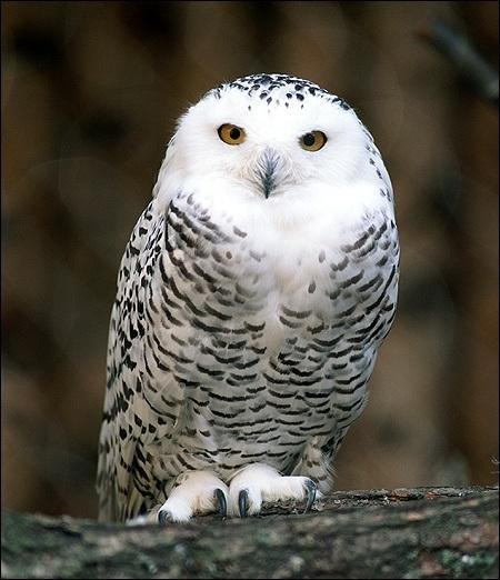 Картинки полярной совы в тундре 019