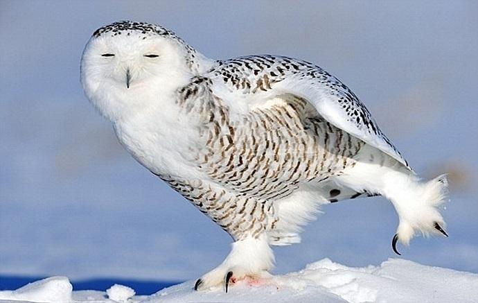 Картинки полярной совы в тундре 020