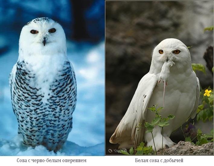 Картинки полярной совы в тундре 021